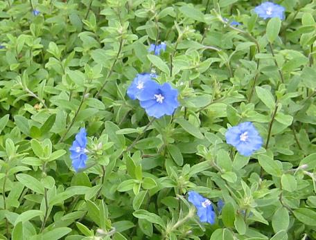 アメリカン ブルー 花 言葉