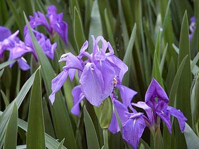 カキツバタ(Iris laevigata)アヤ...